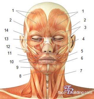 Анатомия мышц скачать