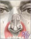 Мышцы носа - Рис.2